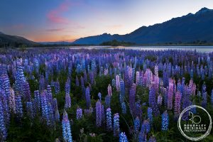Rees Lupins