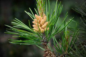 Sunwapta Pine FAP